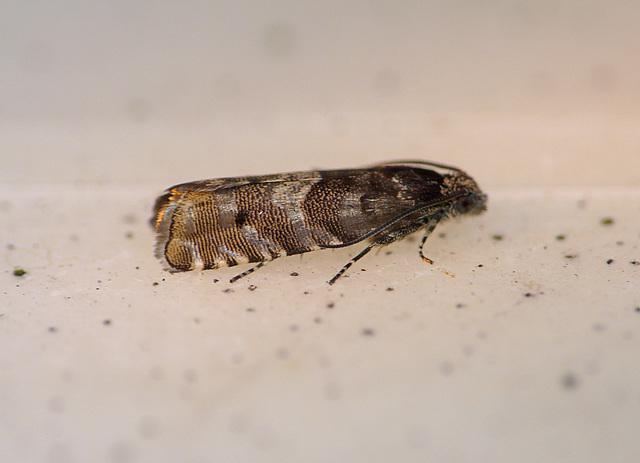 Likely a Cydia conicolana