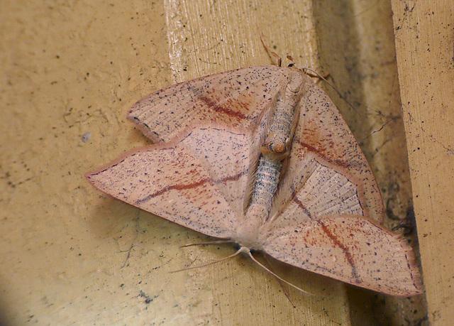 Maiden's Blush Mating Pair