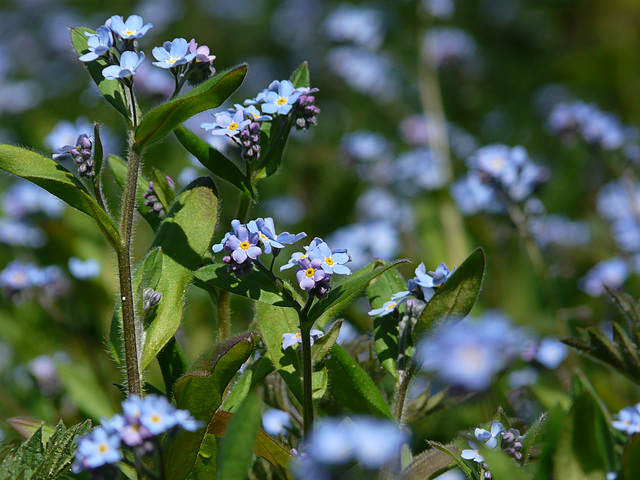 Forget Me Not A Lot!