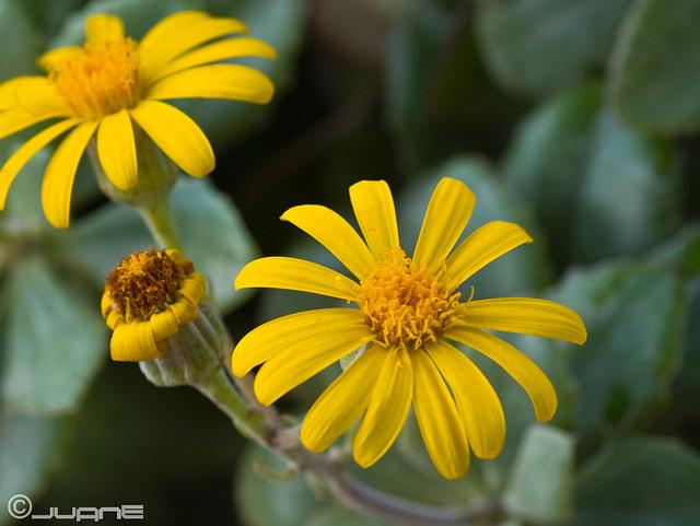 Senecio,  Medley-wodd II (asteraceae)