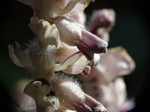 Toothwort Flowers