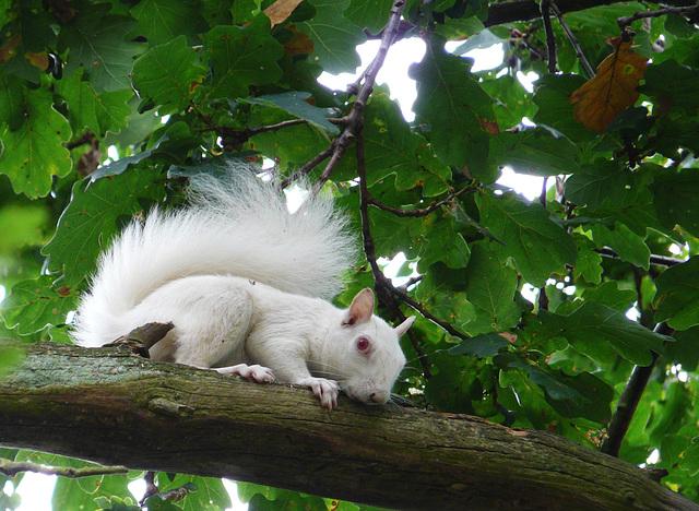 Albino Squirrel 1