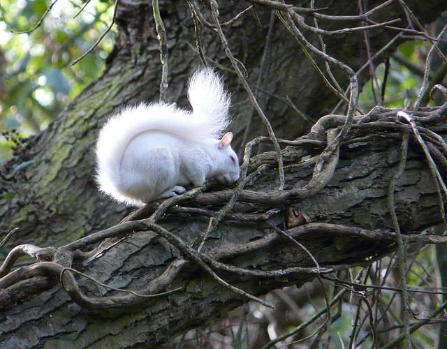 Albino Squirrel 2