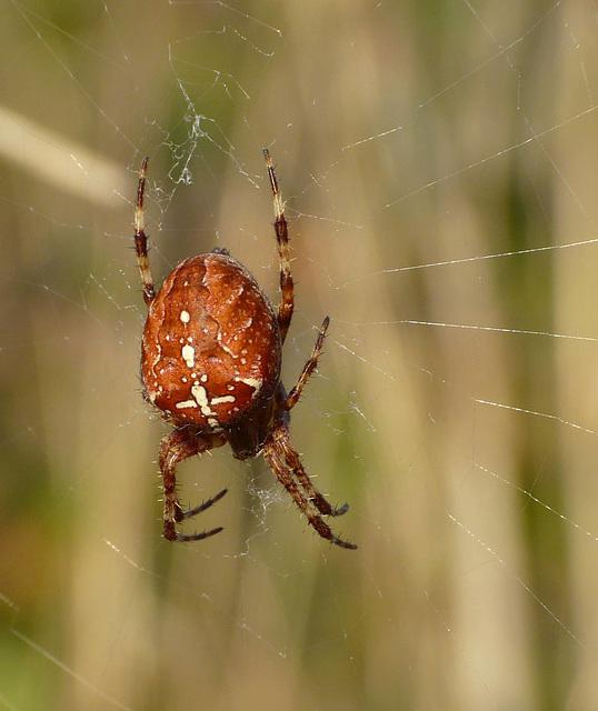 Red Garden Spider