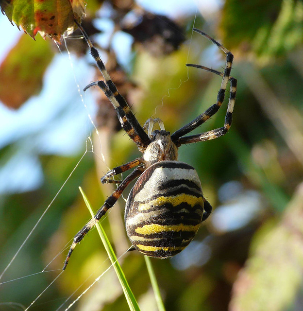 Wasp Spider Large