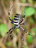 Wasp Spider Small