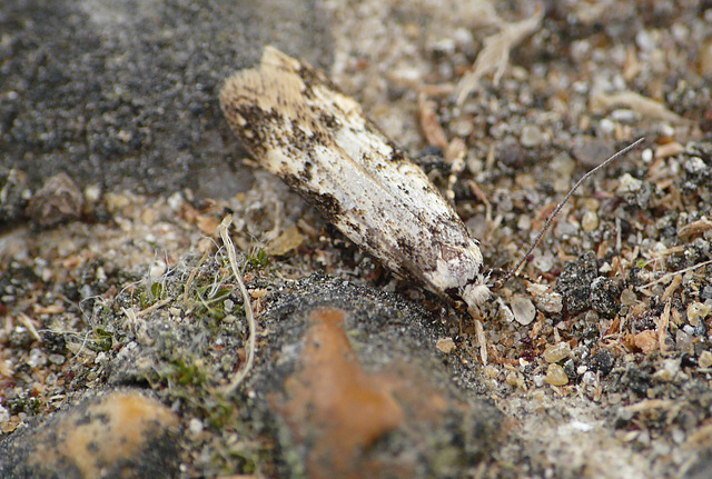 White-shouldered House Moth (answers to the name Lucky)..