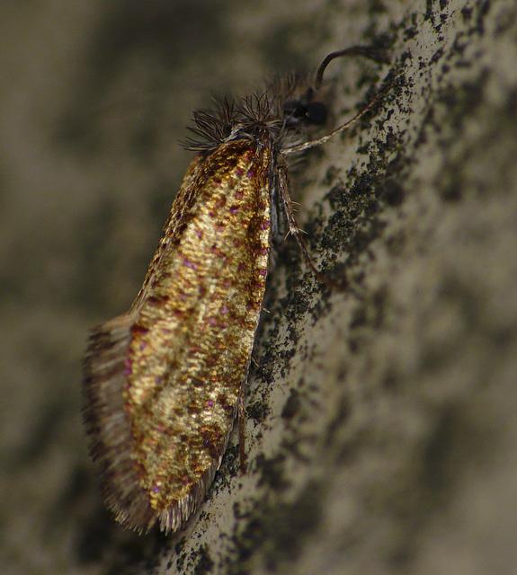 Eriocrania subpurpurella f. fastuosella