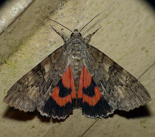Red Underwing  -Open