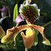 Paphiopedium Hybride Nitons