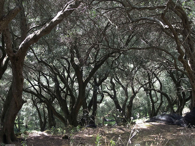 PICT18592ac Olive Tree Orchards on Pantokrator Highest Mountain Slopes