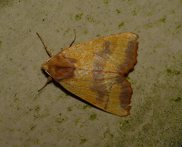 Centre-barred Sallow -Top