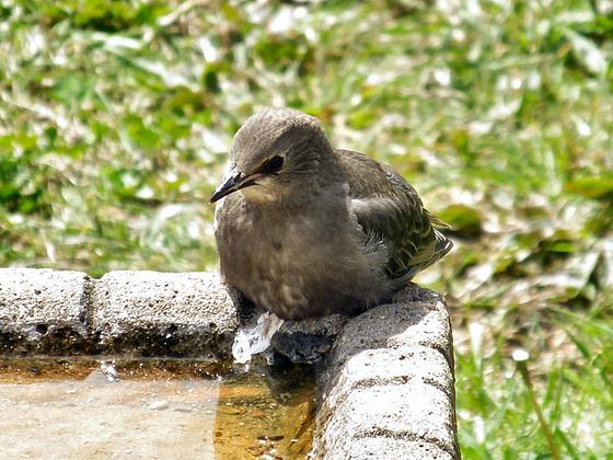 fledgling starling