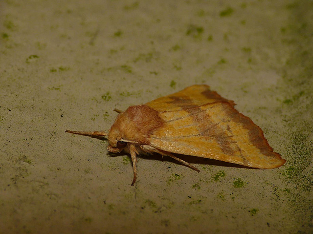 Centre-barred Sallow -Side