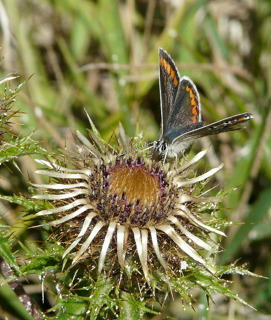 Brown Argus -Front