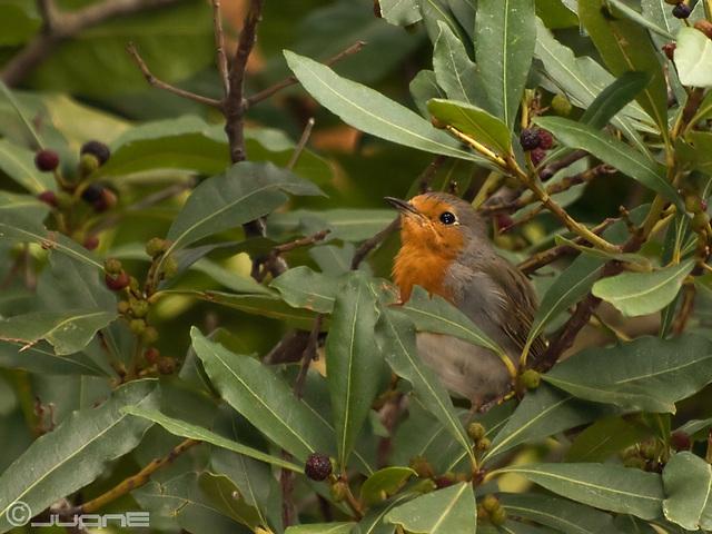 Petirrojo (Erithacus rubecula superbus),