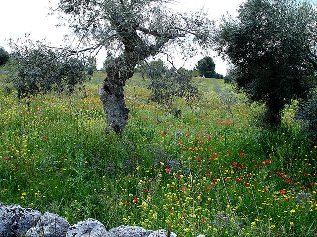 Olivenbaum und Frühjahrswiese