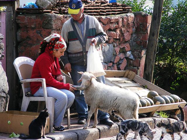 Feeding a sheep