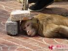 simio - monkey