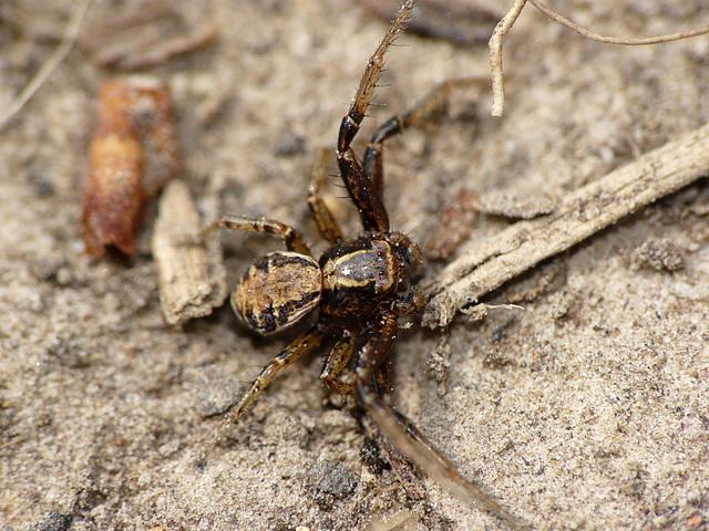Common Crab Spider