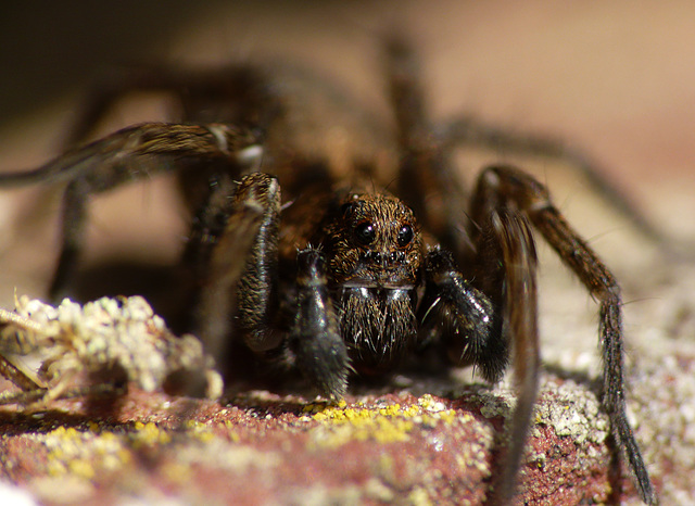 Spotted Wolf Spider