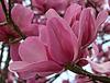 Wakehurst Magnolia