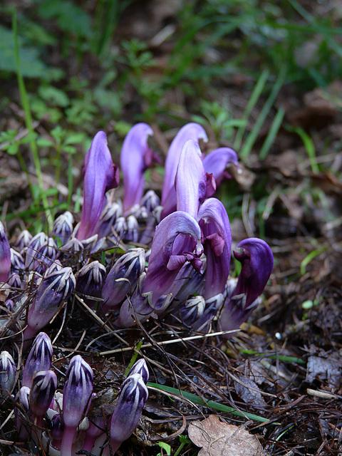 Purple Toothwort @ Kew