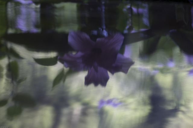 reflection of hibiscus