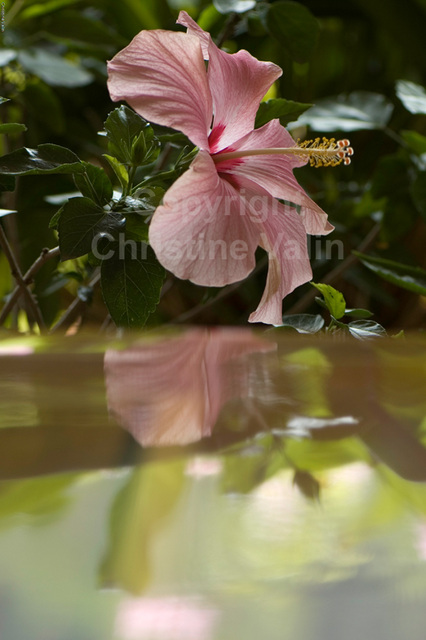 pink hibiscus and reflection