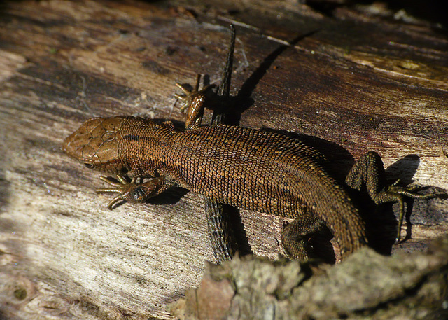 Common Lizard 4