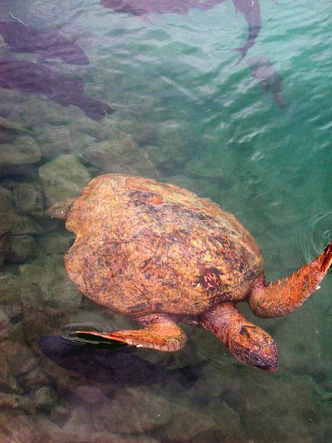 Turtle in the Hon Mun Vietnam's marine sanctuary