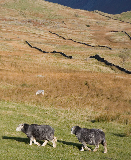 Herdwick out for an afternoon stroll
