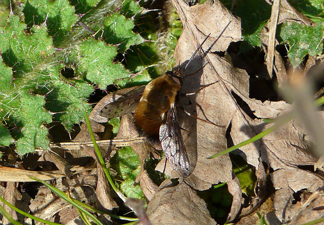 Bee Fly - More Rare One