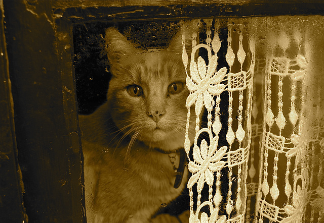 Chat et vieilles dentelles