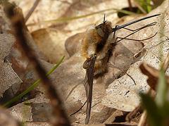Bee Fly Side