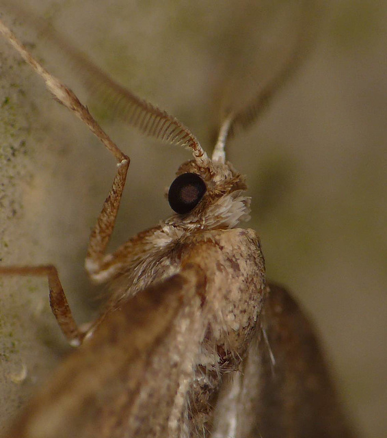 Early Moth -Face