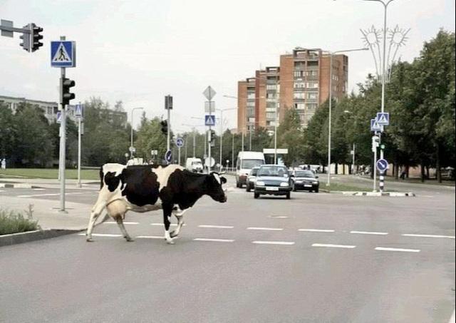 Les pets de vache contribuent à l'effet de serre... (entendu récemment aux infos de France2)
