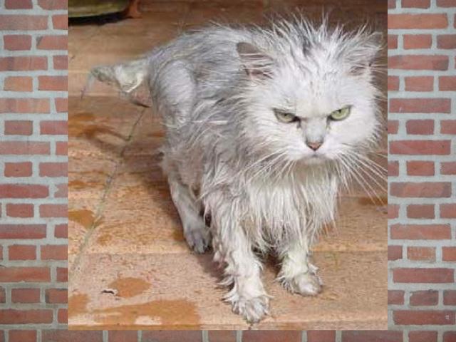 Chat sorti de la douche