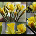 Declaration of love ♥ to the daffodil
