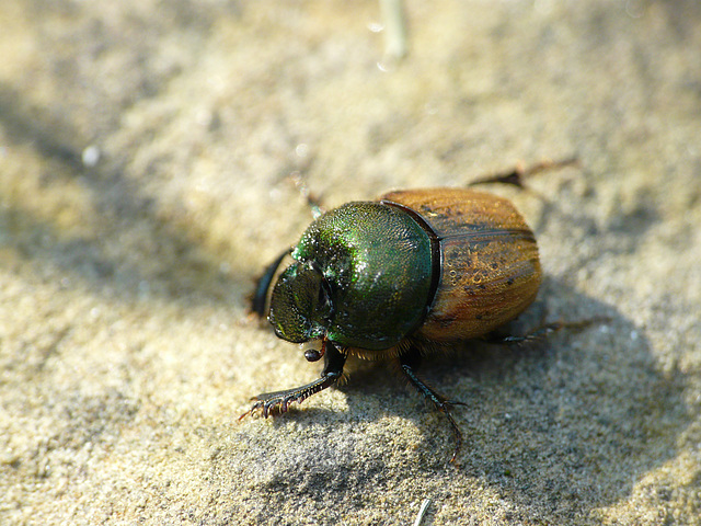 Onthophagus sp.