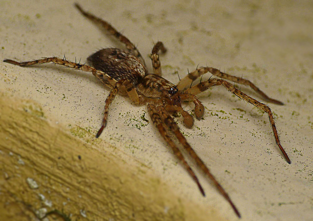 Wolf Spider - Young