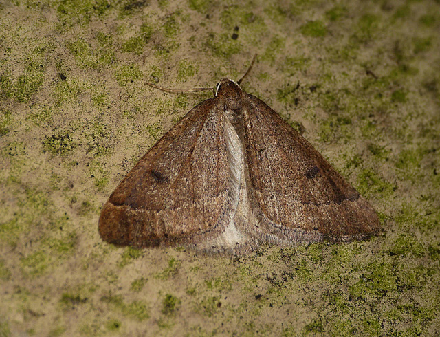 Early Moth 1