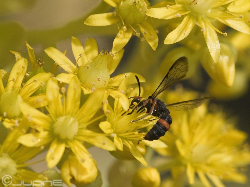 Sphecidae Crabroninae (Crabronidae para los modernos)