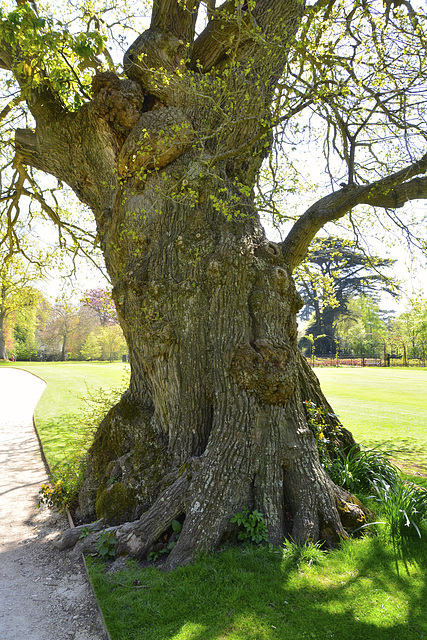Blenheim Palace – English Oak