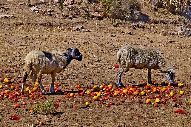 Fruit Sheep
