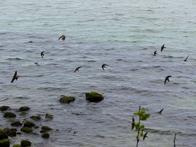 Küstenseeschwalben - 2