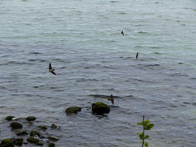 Küstenseeschwalben - 3
