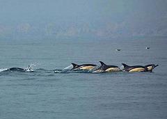 "Sesimbra Coast, a ""flock"" of Delphinus Delphis (common dolphins)"