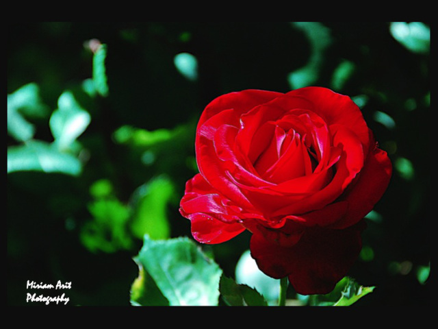 A red rose to welcome me back