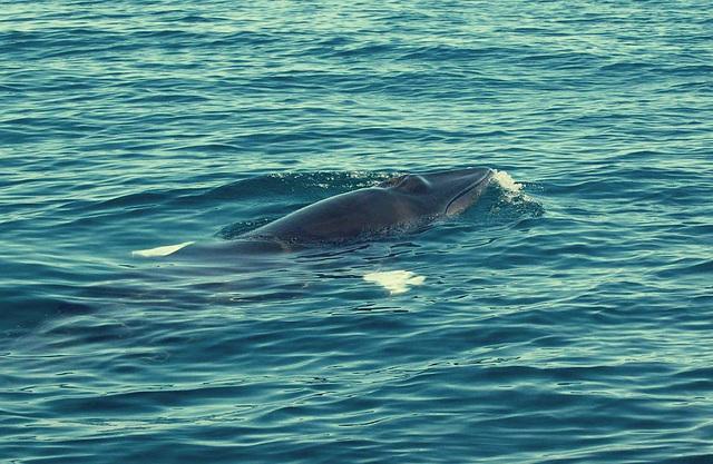 Sesimbra Coast, minke whale